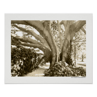 Sepia Big Tree Photography California LA Poster