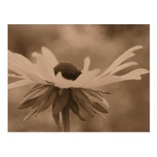 Sepia Black Eyed Susan Flower Photo Postcard
