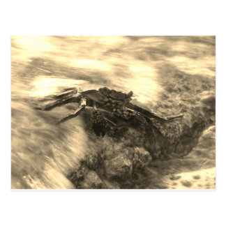 Sepia Crab Postcard