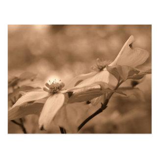 Sepia Dogwood Blossoms Flower Photography Postcard
