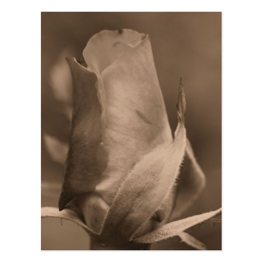 Sepia Rosebud Flower Photo Postcard