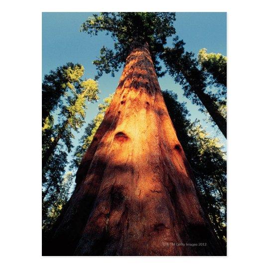 Sequoia National Park , California 3 Postcard