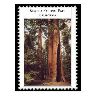 Sequoia National Park California Postcard