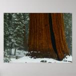 Sequoia Tree Poster