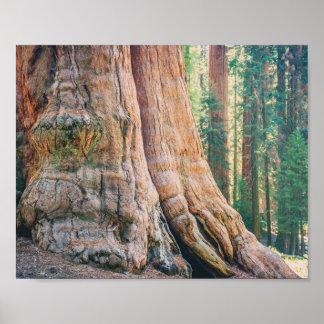 Sequoia Tree Trunk | Poster