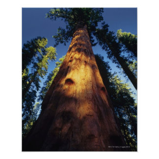 Sequoia trees poster