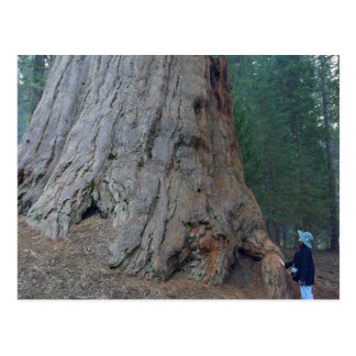 Sequoias Trees Giants Postcard