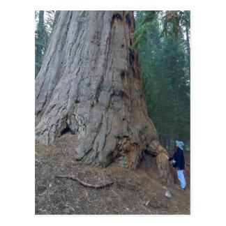 Sequoias Trees Giants Postcard
