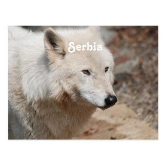 Serbian Wolf Postcard