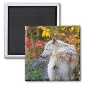 Serene Autumn Wolf Square Magnet