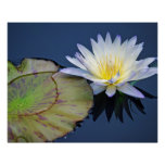 Serene Water Lily Poster