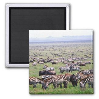 Serengetti Plains full of herds of Zebras and Square Magnet