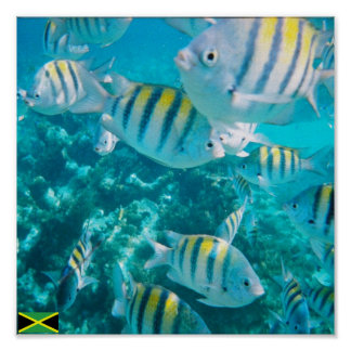 sergent major fish jamaica poster