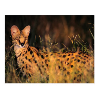 Serval (Leptailurus Serval) In Long Grass Postcard