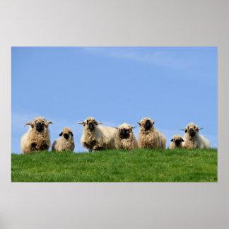 seven curious rasta sheep poster