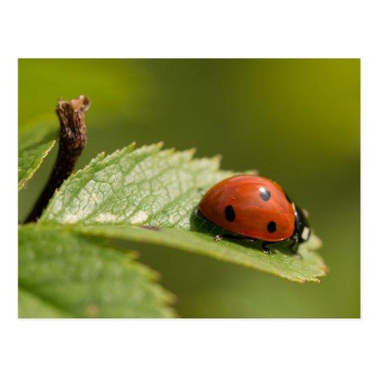 Seven-spot Ladybird Postcard