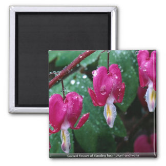 Several flowers of bleeding heart plant and water magnet