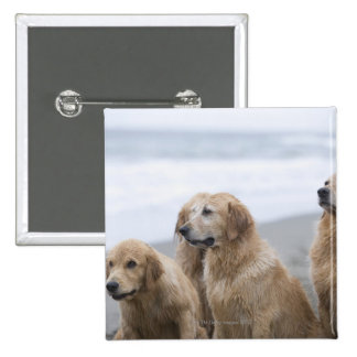 Several Golden retrievers sitting on beach 2 Inch Square Button