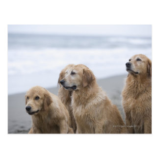 Several Golden retrievers sitting on beach Postcard