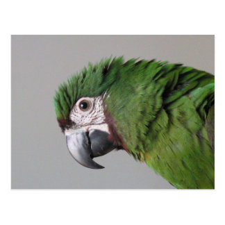 Severe Macaw Postcard
