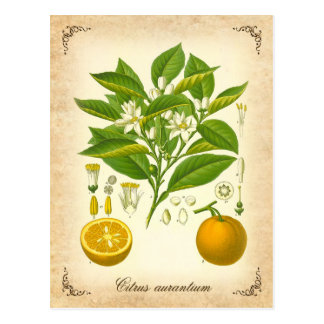 Seville orange - vintage illustration postcard