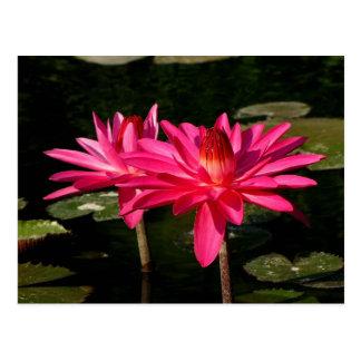 SG Pink H2O Lilies Lincoln, NE 2 Postcard