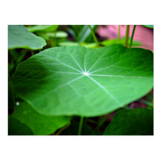 Shaddy Nasturtium leaf Postcard