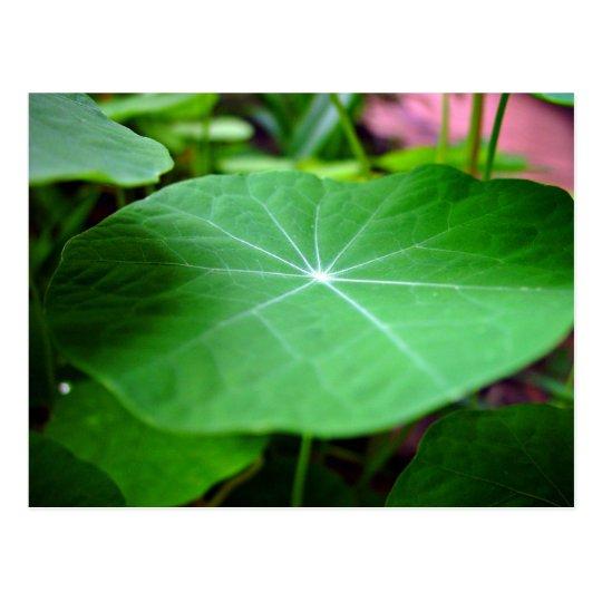 Shaddy Nasturtium leaf Postcard
