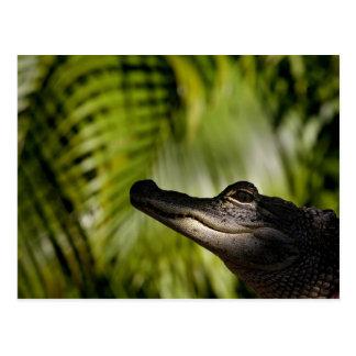 Shady Alligator postcard