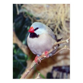 Shaft-tail Finch Postcard