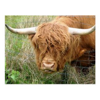 Shaggy Highland Cow Postcard