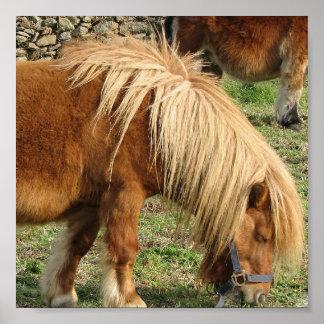 Shaggy Shetland Pony Poster