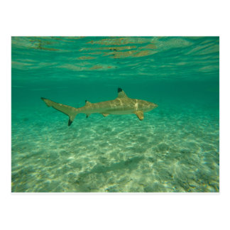 Shark in will bora will bora postcard