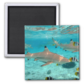 Sharks in the Bora Bora lagoon magnet