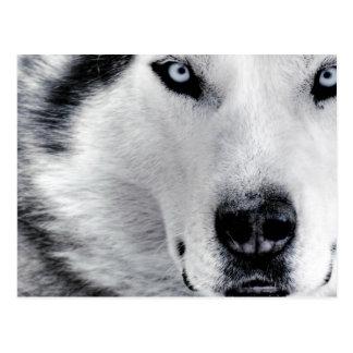 Sharp Eyed Wolf Postcard
