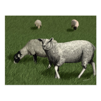 Sheep Grazing in a Field Postcard