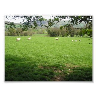 Sheep in the Countryside Photo Art