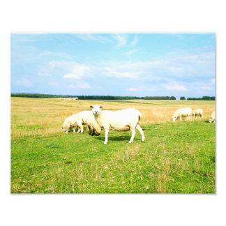 Sheep in the Field Photo Print