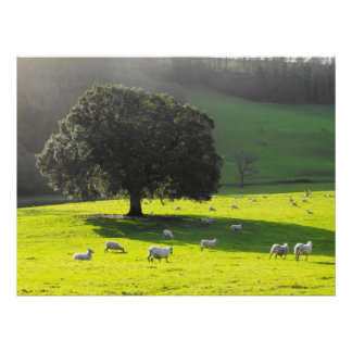Sheep in the morning sun poster