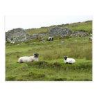 Sheep of Ireland Postcard
