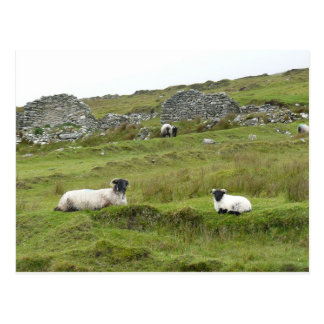 Sheep of Ireland Postcard