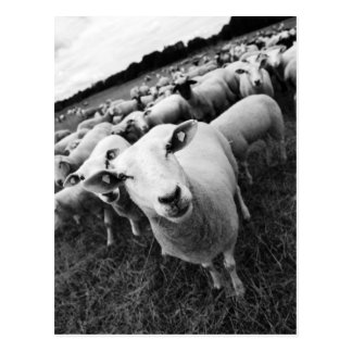 Sheep Postcard