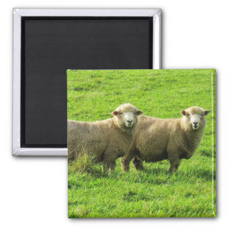 sheep stares magnet