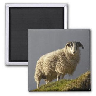 Sheep, Trotternish Peninsula, Isle of Skye, Magnet