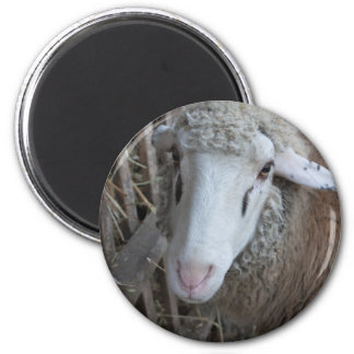 Sheep with hay 2 inch round magnet