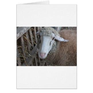 Sheep with hay card