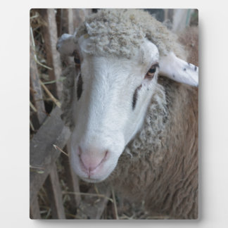 Sheep with hay plaque