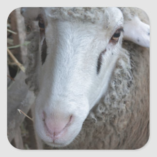 Sheep with hay square sticker