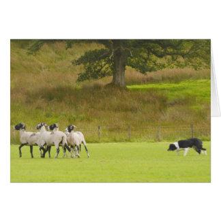 Sheepdog Herding Sheep Card