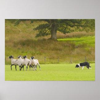 Sheepdog Herding Sheep Poster